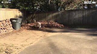 Hund leker seg i en løvhaug!