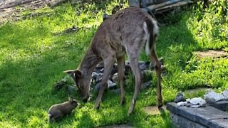 Super friendly rabbit incredibly plays with wild deer