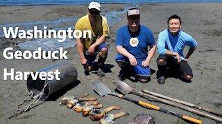 Geoduck Harvest - Washington