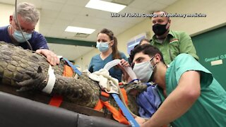 Crocodile undergoes surgery to remove shoe from belly
