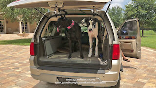 Happy Great Danes and Cat Love Going For A Car Ride