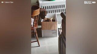 Boxer addotta due caprette