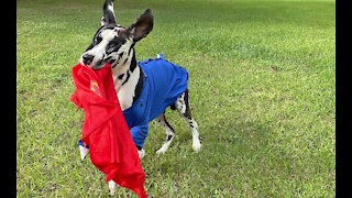 Great Dane Leaps And Bounds With His Superman Cape Halloween Costume
