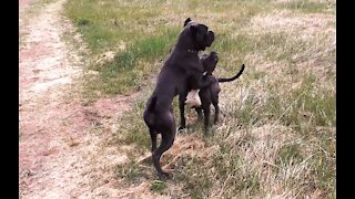 Italian cane Corso frolic in a clearing