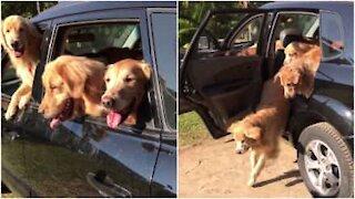 Quanti cani possono entrare in una macchina?