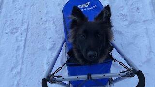 Dutch Shepherd pulls Belgian Tervueren and human for dog sled ride