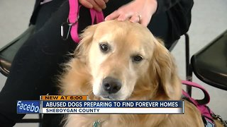 Humane society helps prepare Sheboygan County hoarding case dogs for adoption