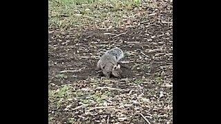 Eastern white ears grey Squirrel