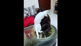Naughty White Cat Hugging To Black