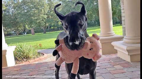 Funny Great Dane Won't Go Outside Without Her Piggy Oinker Toy