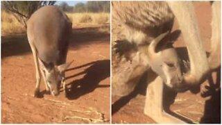 Baby kangaroo loves his mum's pouch