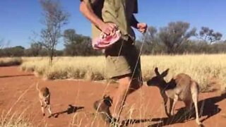 Morning exercise with a bouncing baby kangaroo