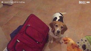 Cane non riesce a prendere la pizza