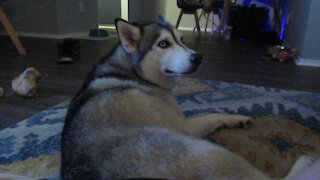 Vocal huskies let their owners know they're bored
