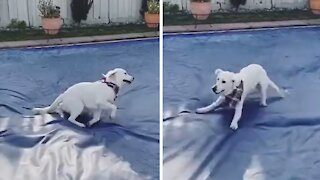 Excited doggy does zoomies all over pool cover