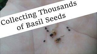 Collecting Basil Seeds