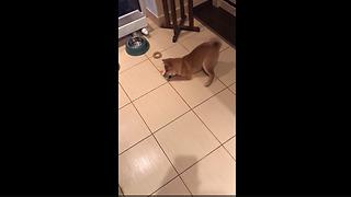 Shiba Inu puppy struggles to eat his veggies