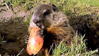 Baby groundhog happily discovers delicious apple slice treats