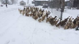 Nothing can stop these ducks from getting their breakfast