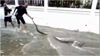 Enorm slange funnet under flom i Thailand