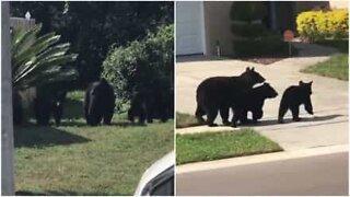 Bjørnefamilie tar en spasertur i et nabolag i Florida