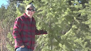 Cutting down a Christmas tree in the forest provides family fun