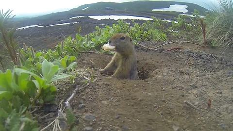 Arctic ground squirrel loves to be on camera