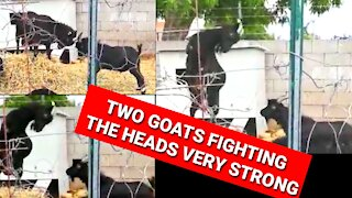 DRAMATIC MOMENT TWO GOATS FIGHT THE HEADS VERY STRONG