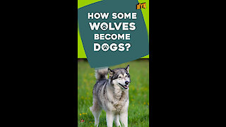 Why do some dogs look like wolves? *