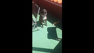 Funny doggy shows off his hilarious police siren impression