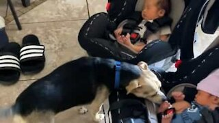 Family dog meets infant twins for the first time!