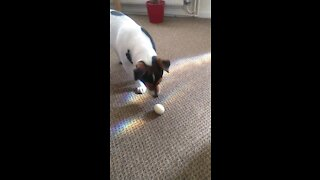 Dog Playing With Boiled Egg Part