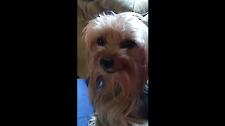 This adorable Yorkie knows how to smile on command