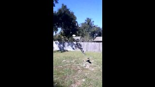 Cattle dog shows off incredible athleticism jumping after frisbee