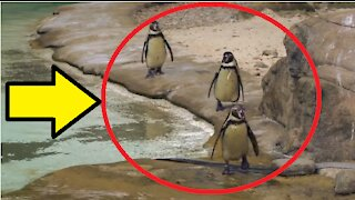 cute Penguins At The Zoo