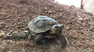 Desert tortoises need a home!