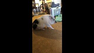 Mini pig plays with kitten best friend