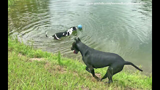 Funny Great Dane Almost Goes Swimming To Fetch His Jolly Ball