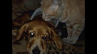 Cat licking sad dog