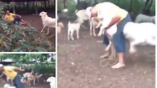 Goat hitting man