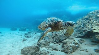 Honu passing by