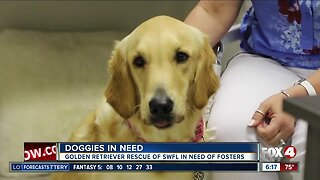 Local golden retrievers need foster homes