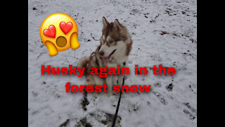 The Husky again in the forest snow