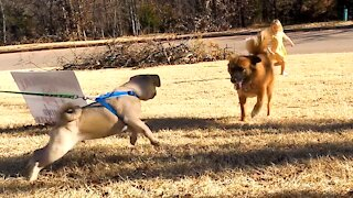 Pug Puppy meets our Rescue Dog for First Time