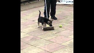 German Shepherd puppy repeatedly attacks broom