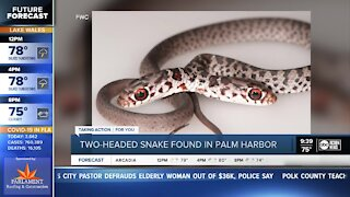 Rare 2-headed snake found at Palm Harbor home