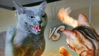 Best Funny Cat Fight Compilation