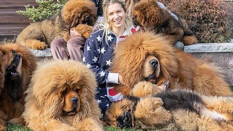 Tibetan Mastiffs - The 200lbs 'Bear Dogs' | BIG DOGZ