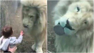 Il leone ossessionato dalla bambina