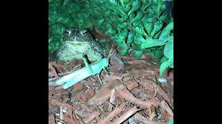 Garden toad eats grasshopper